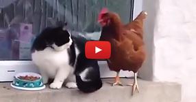 Кокошка се опитва да изяде храната на котка. През сълзи ще се смеете, когато видите какво направи тази котка! (ВИДЕО)