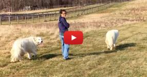 Тази жена излезе на разходка с двете си кучета! ИЗЧАКАЙТЕ обаче да видите кой се присъедини към тях! ОЧАРОВАТЕЛНО ВИДЕО!
