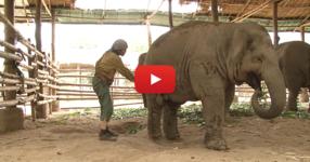 Няма да повярвате на очите си, когато видите какво направи жената със слона. Как е възможно това?! (ВИДЕО)