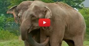 Преди 22 години тези два слона са живели заедно в един цирк. Тяхната реакция, когато се срещат отново е приказна! (ВИДЕО)