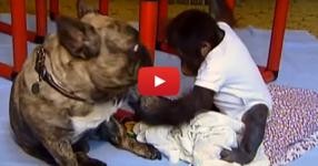 Бебе орангутан е изоставено от семейството си. Ето какво се случва, когато то среща това куче… (ВИДЕО)