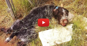 Парализирано куче намира сили да се изправи на лапите си и да помаха с опашка за своите спасители! (ВИДЕО)