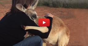 Това кенгуру беше спасено. Сега гледайте какво прави всяка сутрин, за да изрази своята благодарност (ВИДЕО)