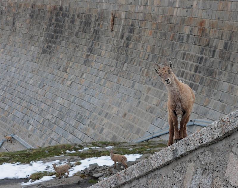 планински кози италия