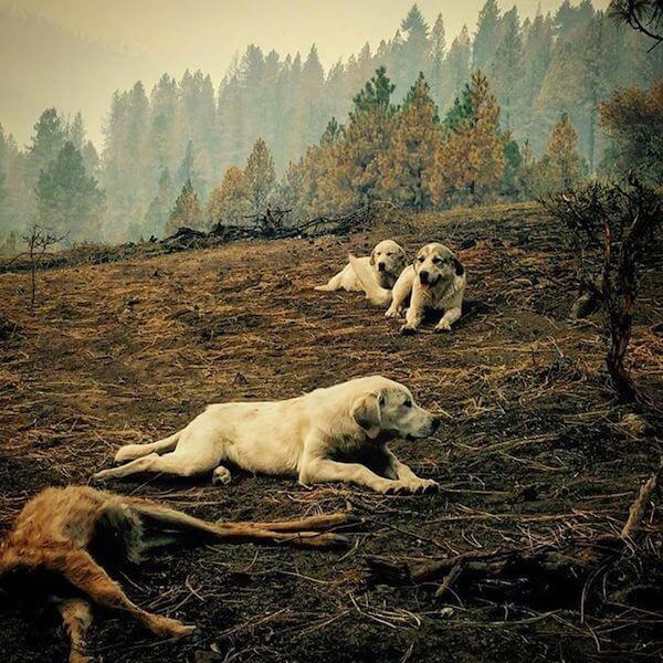 кучета пазят елен след пожар