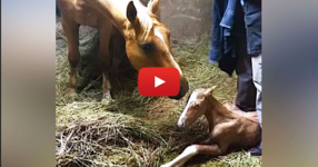 Мама кон дава живот на жребче. Но когато тя отново започва да ражда, се случва това! УАУ! (ВИДЕО)