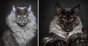 Фотограф улавя величествената красота на породисти котки Мейн Кун. Изображенията са магически! (СНИМКИ)