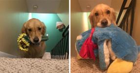 Това прекрасно куче настоява да спи всяка вечер с различна играчка (СНИМКИ)