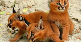 """Запознайте се с """"Каракал"""", една от най-красивите и екзотични котки на планетата! (СНИМКИ)"""