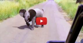 Бебе слон вижда автомобил с туристи. Това, което прави след това, е прекрасно! (ВИДЕО)