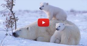 ВИЖТЕ какви прекрасни изображения успя да улови един фотограф! Три полярни мечки са главните действащи лица! (ВИДЕО)