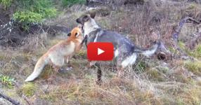 Дива лисица и куче се срещат в гората. Това, което се случва след това ще ви изуми!!! (ВИДЕО)