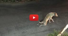 Когато видите как това куче се влачи по земята ще ви стане много жално, но това което се случва след това ще ви остави без думи! (ВИДЕО)