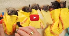 Мислихте, че прилепите са страшни същества? ГЛЕДАЙТЕ това видео и ще промените изцяло мнението ви!