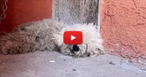 Горкото куче обикаляше загубено по улиците през целия си живот, но когато най-накрая го спасяват… ВИЖТЕ каква трансформация! (ВИДЕО)