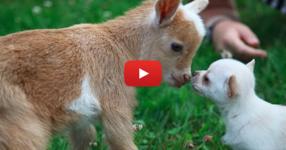 Само за няколко секунди тези очарователни животни ще ви изкарат най-голямата усмивка! (ВИДЕО)