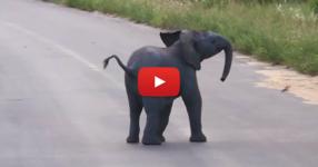 Ще останете очаровани, когато видите как реагира това малко игриво слонче на летящите птици (ВИДЕО)