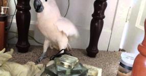 ГЛЕДАЙТЕ какво направи неговият папагал, когато му каза, че ще ходят на ветеринар! МНОГО СМЯХ! (ВИДЕО)