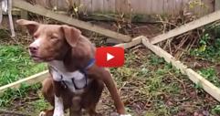 През сълзи ще се смеете, когато видите таланта на това куче! Такова нещо НИКОГА не сте виждали! (ВИДЕО)