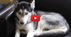 """Кучето чува нейният стопанин да му казва """"Обичам те"""". Ще се смеете през сълзи, когато видите реакцията на кучето... (ВИДЕО)"""